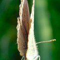 Photos: 草の上に止まるシジミチョウ - 2