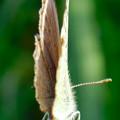草の上に止まるシジミチョウ - 2