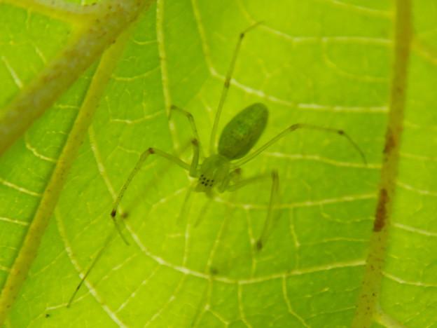 葉っぱの裏にいた薄緑色で透明の?蜘蛛 - 3