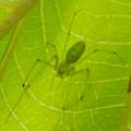 Photos: 葉っぱの裏にいた薄緑色で透明の?蜘蛛 - 3