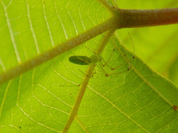 葉っぱの裏にいた薄緑色で透明の?蜘蛛 - 4