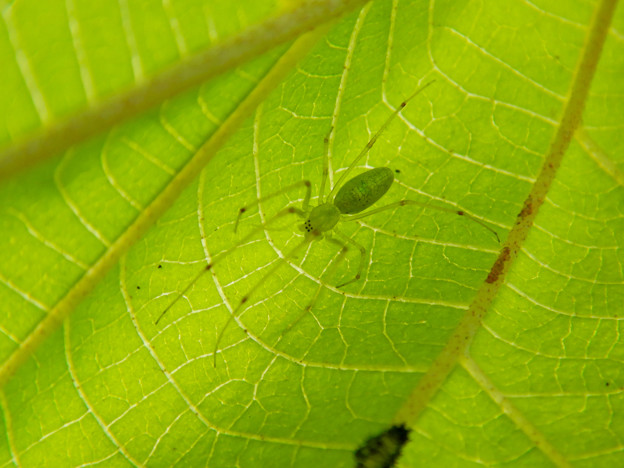 Photos: 葉っぱの裏にいた薄緑色で透明の?蜘蛛 - 1