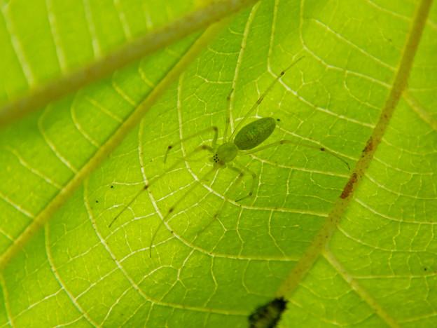 葉っぱの裏にいた薄緑色で透明の?蜘蛛 - 1