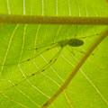 Photos: 葉っぱの裏にいた薄緑色で透明の?蜘蛛 - 5