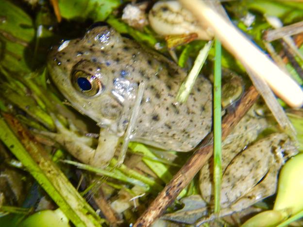 落合公園の池沿いにいた若いウシガエル - 2