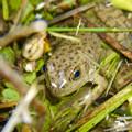 落合公園の池沿いにいた若いウシガエル - 3