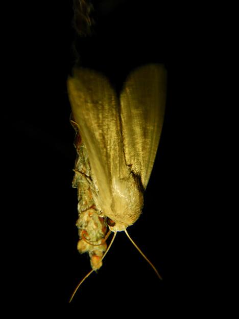 Photos: 夜草の上にいたセセリチョウ - 2
