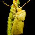 Photos: 夜草の上にいたセセリチョウ - 1