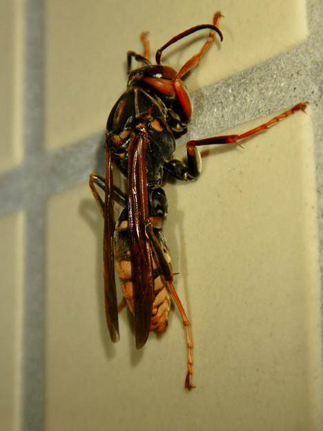 桃花台中央公園のトイレにいた、たぶんセグロアシナガバチ - 3