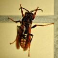 桃花台中央公園のトイレにいた、たぶんセグロアシナガバチ - 4