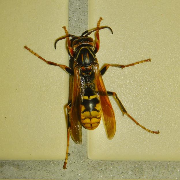 桃花台中央公園のトイレにいた、たぶんセグロアシナガバチ - 5