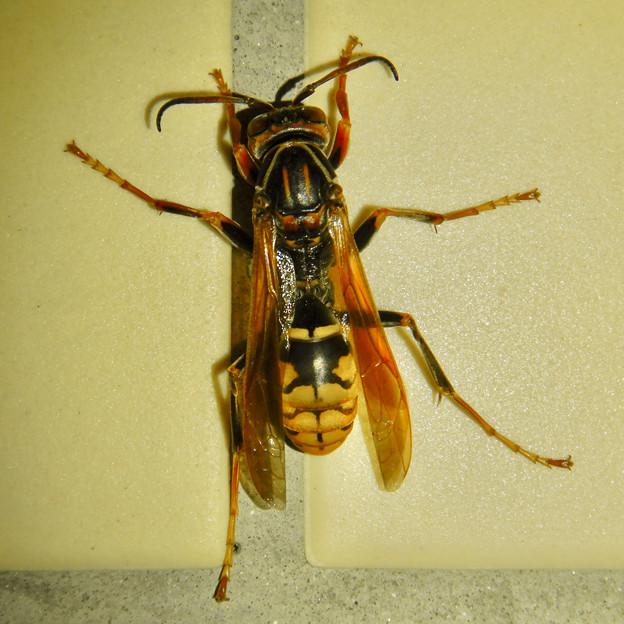 Photos: 桃花台中央公園のトイレにいた、たぶんセグロアシナガバチ - 8