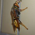 Photos: 桃花台中央公園のトイレにいた、たぶんセグロアシナガバチ - 6