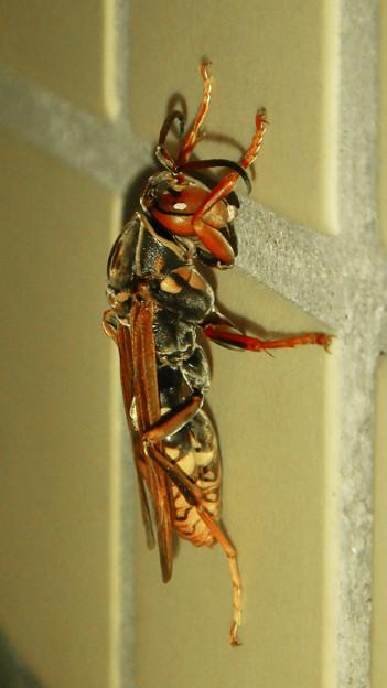 Photos: 桃花台中央公園のトイレにいた、たぶんセグロアシナガバチ - 2