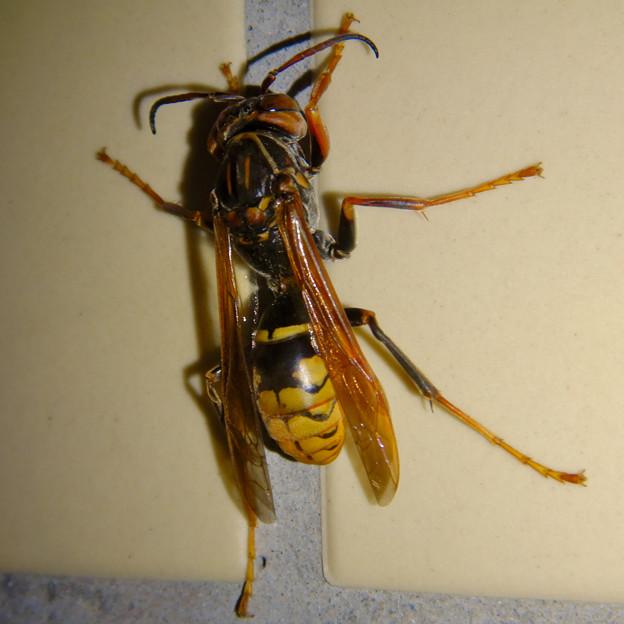 桃花台中央公園のトイレにいた、たぶんセグロアシナガバチ - 9