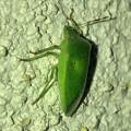 Photos: 緑一色の、たぶんアオクサカメムシ - 2