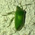 Photos: 緑一色の、たぶんアオクサカメムシ - 1