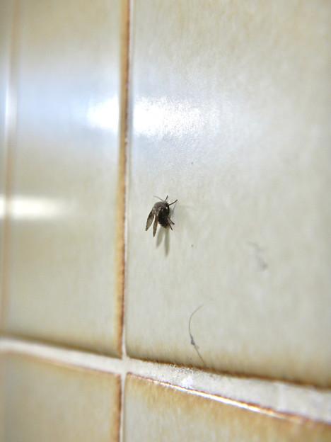 商業施設のトイレにいたチョウバエ(たぶんオオチョウバエ) - 8