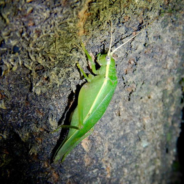 夜に木の上にいたアオマツムシ - 1