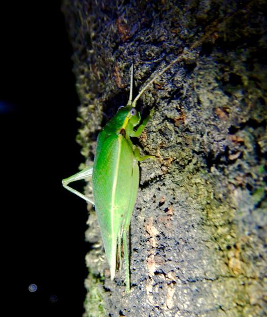 Photos: 夜に木の上にいたアオマツムシ - 4