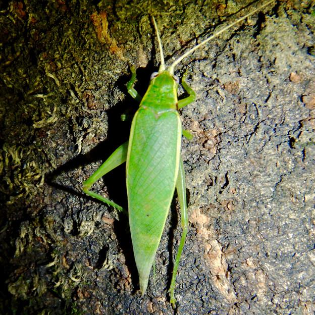 夜に木の上にいたアオマツムシ - 5