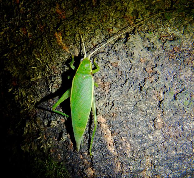夜に木の上にいたアオマツムシ - 6