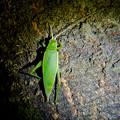 Photos: 夜に木の上にいたアオマツムシ - 6