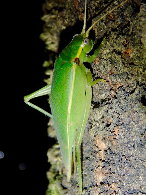 夜に木の上にいたアオマツムシ - 7:こちらを見てる?