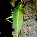 Photos: 夜に木の上にいたアオマツムシ - 7:こちらを見てる?