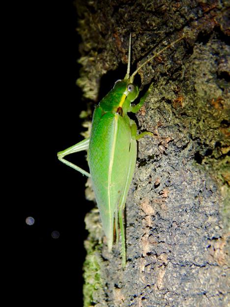 Photos: 夜に木の上にいたアオマツムシ - 8