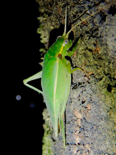 夜に木の上にいたアオマツムシ - 9:こちらを見てる?