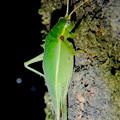Photos: 夜に木の上にいたアオマツムシ - 9:こちらを見てる?