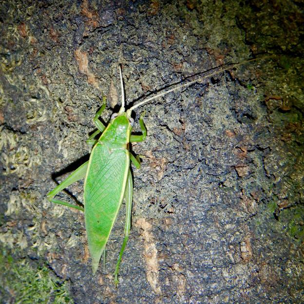 夜に木の上にいたアオマツムシ - 10