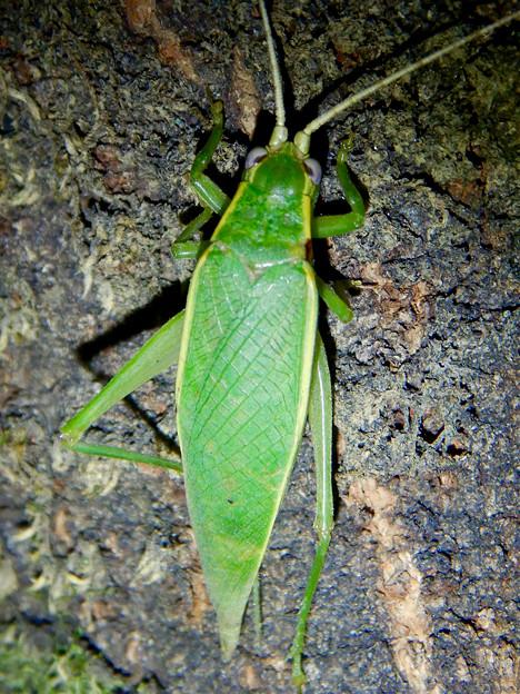 夜に木の上にいたアオマツムシ - 11
