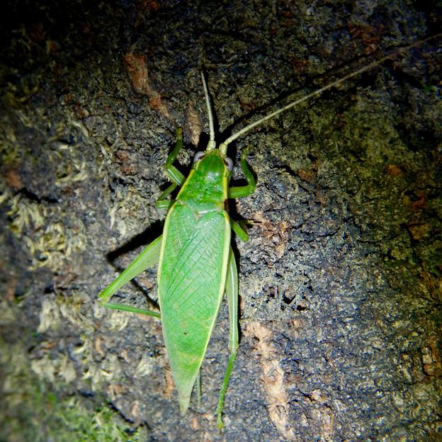 夜に木の上にいたアオマツムシ - 12
