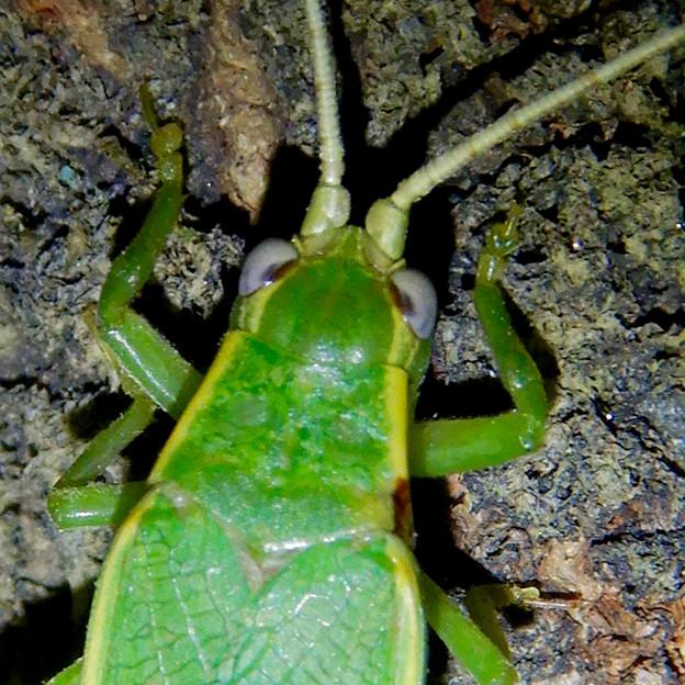 夜に木の上にいたアオマツムシ - 13