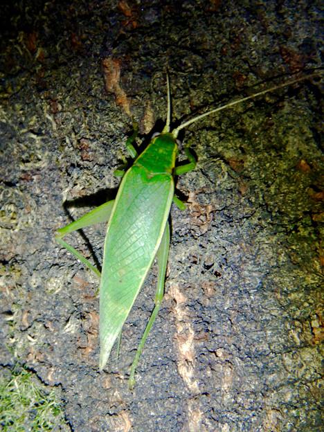 夜に木の上にいたアオマツムシ - 3