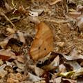 Photos: たぶんクロコノマチョウのメス - 2