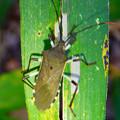 Photos: 草の上にいたキバラヘリカメムシ - 3