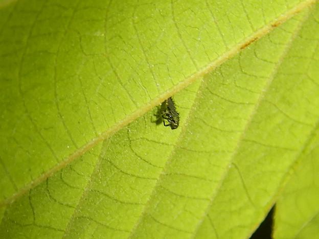 もうすぐサナギになって脱皮する?テントウムシの幼虫 - 1