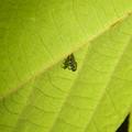 Photos: もうすぐサナギになって脱皮する?テントウムシの幼虫 - 1