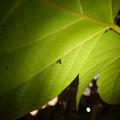 もうすぐサナギになって脱皮する?テントウムシの幼虫 - 2