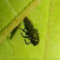 もうすぐサナギになって脱皮する?テントウムシの幼虫 - 4