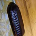 朝宮公園のトイレにあったクロゴキブリの卵鞘 - 1
