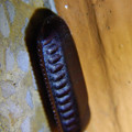 Photos: 朝宮公園のトイレにあったクロゴキブリの卵鞘 - 1