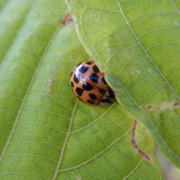 Photos: 葉っぱの上で寝ていた?テントウムシ - 1