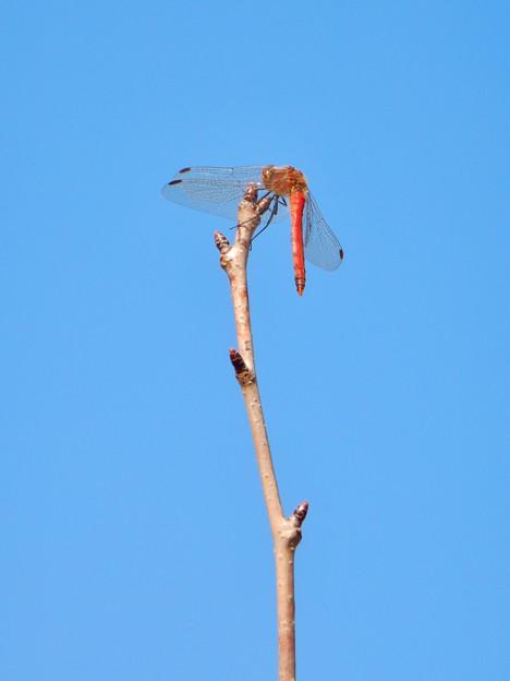 木の枝の先に止まっていた、たぶんショウジョウトンボ - 1