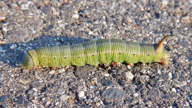 Photos: 地面を移動するオオスカシバの幼虫 - 4