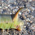 地面を移動するオオスカシバの幼虫 - 5:お尻の部分の突起
