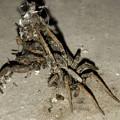 Photos: 生き物の残骸?を背にしていた蜘蛛 - 8
